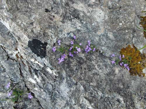 Cuervas-de-Monte-Castillo flowers growing on rock surface