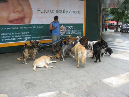 Another picture of a professional dog walker.  Possible new occupation for some of the people on CNBC (I'm still in Buenos Aires and I love dogs)