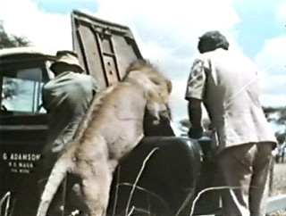 George Adamson the man Who Lived With the Lions  See link at bottom of page to go Adamson's home page