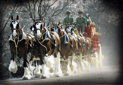 Budweiser-Clydesdales