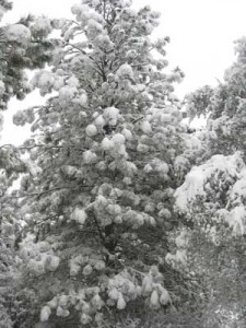 fir-covered-with-snow