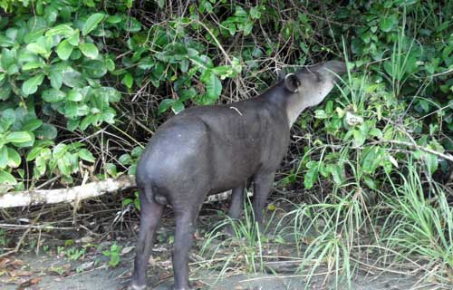 Tapir browsing in the jungle