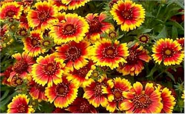 Gaillardia 'Goblin' offers multicolored blooms for the fire safe border