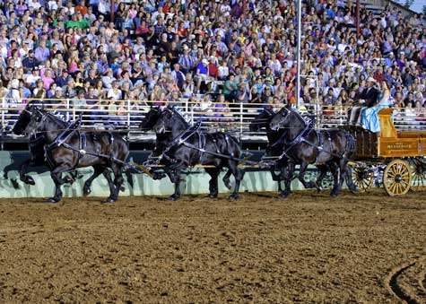 Photo caption: Kirk Messenger and his Percherons perform at the 26th annual Draft Horse Classic.  Messenger, of Cheyenne, Wyoming, was the winner of the Six-Up Ultimate Hitch Championship.  Photo credit: Ron Calef, ProSportsPix.com