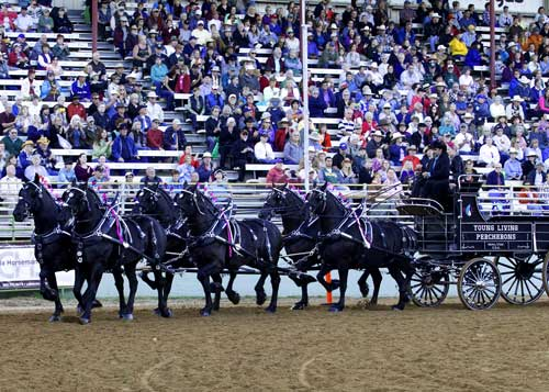 """Winner of the Ultimate Hitch Competition – Freeman Yoder of Young Living Percherons, based out of Mona, Utah – performs at the 2013 Draft Horse Classic.""  Photo credit: ProSportsPix.com"