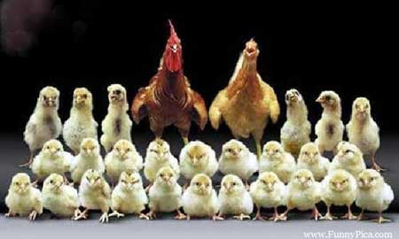 chicken-family
