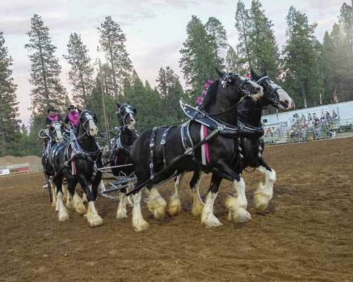 """Winner of the Ultimate Hitch Competition – Wayne Wareing of Wareing Shires, based out of Blackfoot, Idaho – performs at the 2015 Draft Horse Classic."""