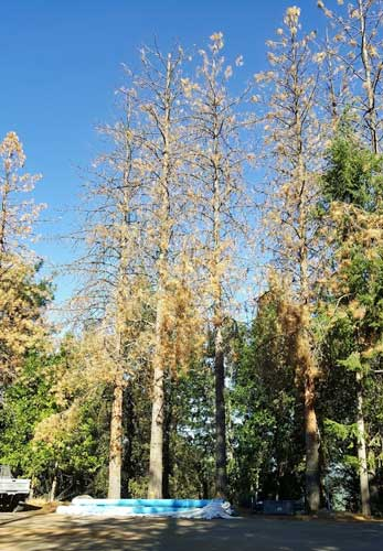Pine trees killed by bark beetles.